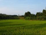 Reisfelder gleich neben dem Haus...