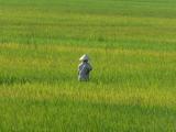 ...wo die Reisbaeuerin nach dem Rechten schaut