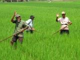 Auf der Rueckfahrt nach Jogja begegnen wir froehlichen und arbeitsamen Reisbauern.