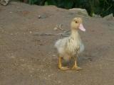 ...und Baby-Ente! Sind die nicht einfach zum Liebhaben?