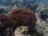 Nemo versteckt sich mit seiner Familie in der Anemone