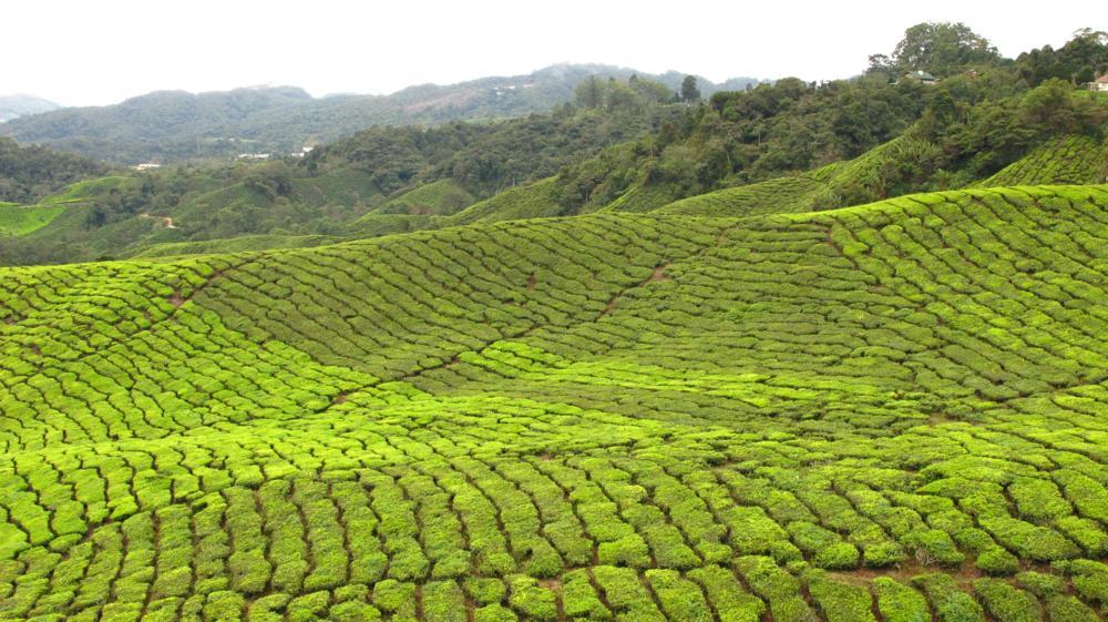 Teeplantagen wohin das Auge blickt_IMG_7287